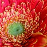 Macro de una flor anaranjada del gerbera imagenes de archivo