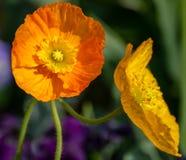 Macro de una flor anaranjada en un fondo verde oscuro imágenes de archivo libres de regalías