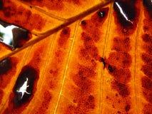 Macro de una hoja coloreada en caída Fotografía de archivo libre de regalías