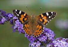 Macro de una mariposa Imágenes de archivo libres de regalías