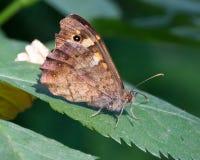 Macro de una mariposa: Aegeria de Pararge Foto de archivo