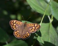 Macro de una mariposa: Aegeria de Pararge Fotografía de archivo