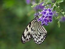 Macro de una mariposa blanca de la ninfa foto de archivo