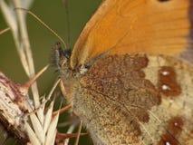 Macro de una mariposa en un arbusto de zarzamora, foto admitida el Reino Unido imagenes de archivo