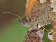 Macro de una mariposa en un arbusto de zarzamora, foto admitida el Reino Unido fotografía de archivo libre de regalías