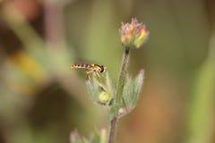 Macro de una mosca colorida Foto de archivo