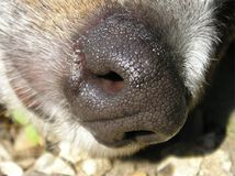 Macro de una nariz de perro. Imagenes de archivo