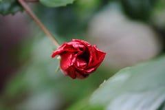 Macro de una rosa imágenes de archivo libres de regalías