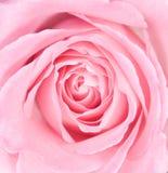 Macro de una Rose rosada Fotografía de archivo