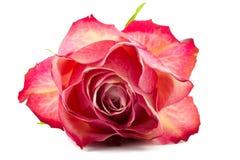 Macro de una sola rosa del rojo Fotografía de archivo libre de regalías