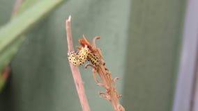Macro de ver de chenille d'insecte banque de vidéos
