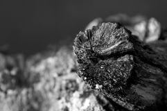 Macro dead branch end Royalty Free Stock Image