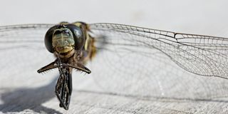 Macro of dead dragonfly Royalty Free Stock Photography