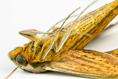Macro dead moth Royalty Free Stock Photo
