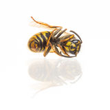 Macro of a dead wasp (Vespula vulgaris) Royalty Free Stock Photos