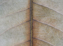 Macro of decayed leaf Royalty Free Stock Photo