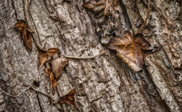 Macro of Decaying Leaves against Tree Bark Stock Photo