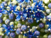 Macro of a deep blue Hydrangea Stock Image