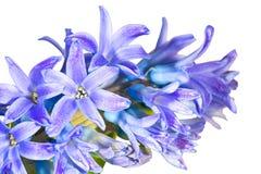 Macro dei fiori blu del giacinto immagine stock libera da diritti