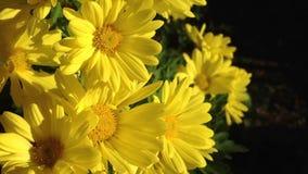Macro dei fiori di autunno con vento leggero video d archivio
