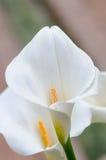 Macro dei fiori III fotografia stock