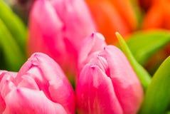 Macro dei fiori rosa freschi della molla dei tulipani Immagini Stock