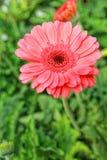 Macro dei fiori rossi bei di fioritura della margherita Immagine Stock