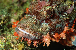 Macro dei pesci tossici della testa del drago Fotografia Stock