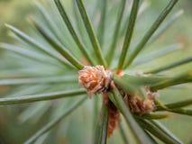 Macro del árbol de la picea tirada con un cono del pino del bebé imagen de archivo
