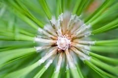 Macro del árbol de pino Foto de archivo libre de regalías