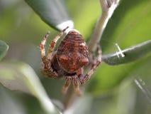 Macro del abdomen de la araña Fotos de archivo