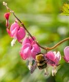 Macro del abejorro en una flor rosada del corazón sangrante Fotos de archivo libres de regalías