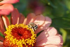 Macro del albigena rayado y gris del caucásico de la abeja de Amegilla en ora Fotografía de archivo