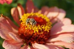 Macro del albigena rayado y gris mullido caucásico de Amegilla de la abeja Foto de archivo