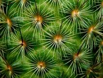 Macro del cactus Immagini Stock