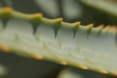 Macro del cactus dell'aloe - primo piano/dettagli della pianta dell'aloe Immagini Stock Libere da Diritti