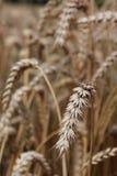 Macro del campo de cereal Imagenes de archivo