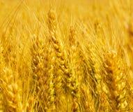 Macro del campo de trigo Oídos trigo o centeno del oro Los granos completos se cierran imagen de archivo libre de regalías