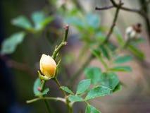 Macro del capullo de rosa en el invierno imagen de archivo