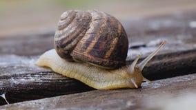 Macro del caracol hermoso que se arrastra en naturaleza Cierre para arriba almacen de video