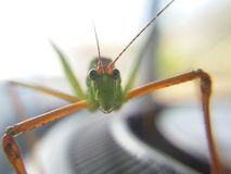 macro del cielo, insecto, insecto, saltamontes, amantis, predicador, fondo, verde, Tailandia, Imágenes de archivo libres de regalías