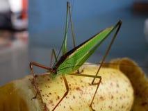 macro del cielo, insetto, insetto, cavalletta, amantis, mantide, fondo, verde, Tailandia, Fotografia Stock
