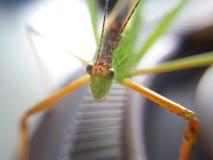 macro del cielo, insetto, insetto, cavalletta, amantis, mantide, fondo, verde, Tailandia, Fotografia Stock Libera da Diritti