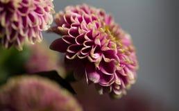 Macro del cierre rosado de la flor de la dalia para arriba Fotografía de archivo libre de regalías