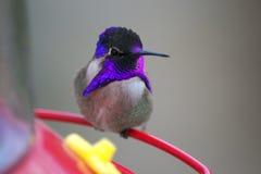 Macro del colibrí púrpura que se sienta en alimentador Imagen de archivo