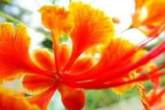 Macro del Delonix Regia o de la flor real de Poinciana o de Gulmohar Foto de archivo