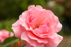 Macro del detalle de la rosa del rosa Imagen de archivo libre de regalías