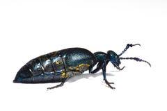 Macro del escarabajo Fotos de archivo