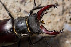 Macro del escarabajo de macho fotos de archivo