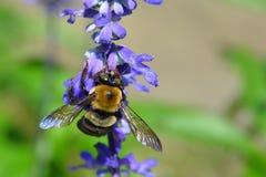Macro del este de Bee Xylocopa Virginica del carpintero Fotografía de archivo